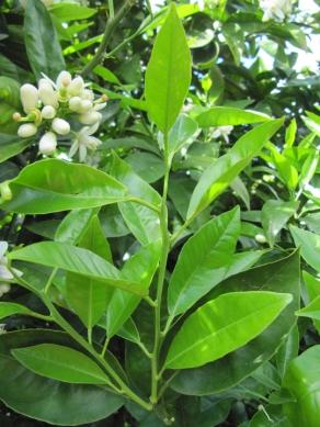 Citrus sinensis Naranjo dulce PH (20)