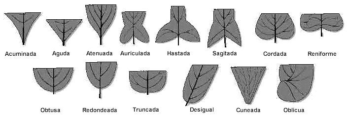 forma de la base