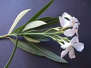 Nerium_oleander_08