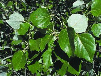 populus-alba-1