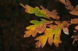 roure reboll (Quercus pyrenaica) (1268) 07_11_2009_1522_fulla_anvers_L