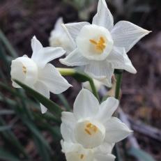 Narcissus flor